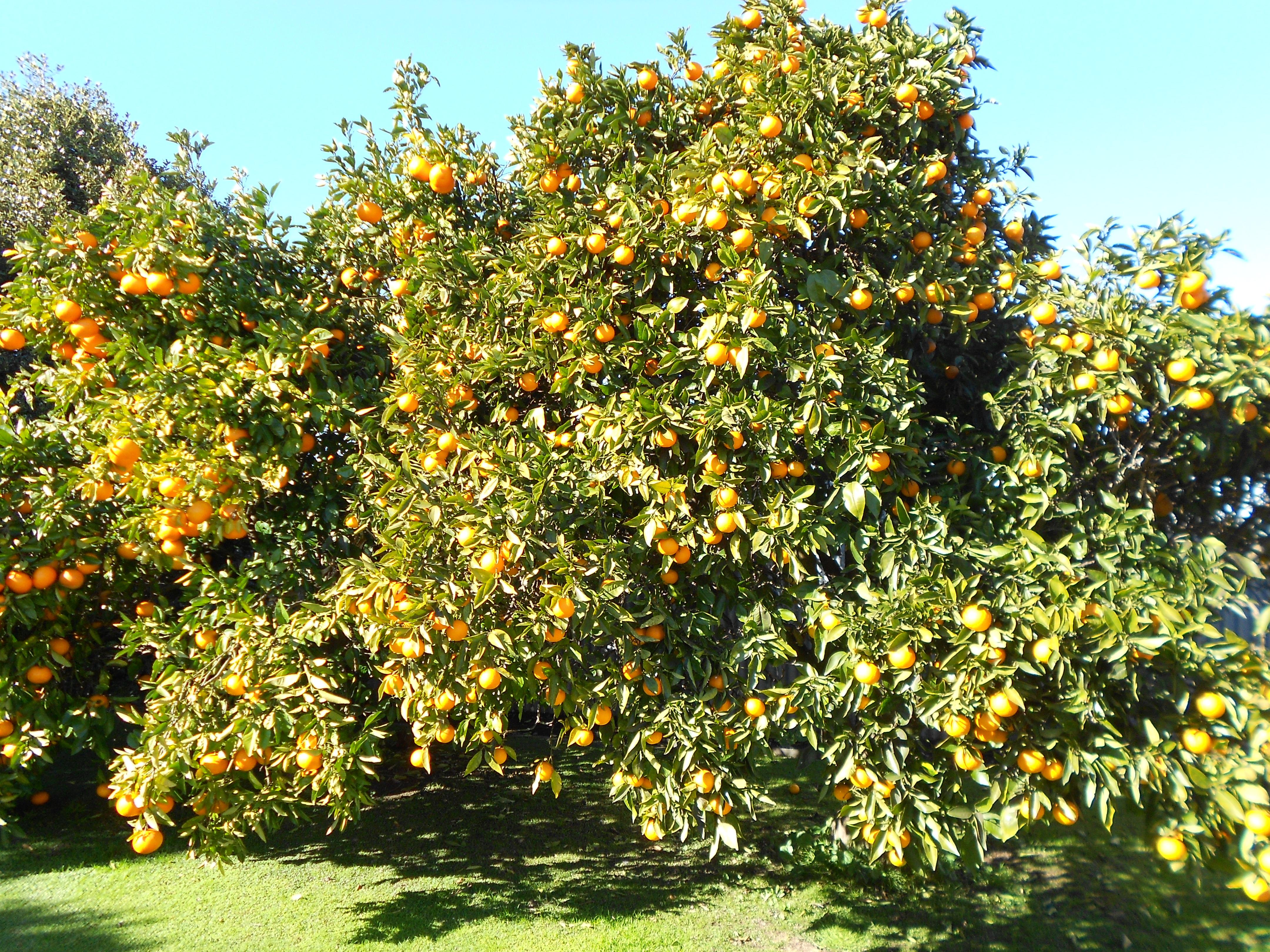 Garden journal july kristah price for Lemon plant images