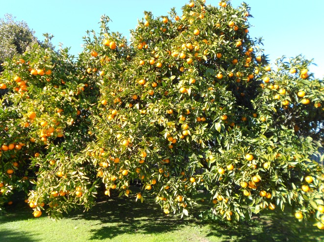 Grapefruit & orange trees