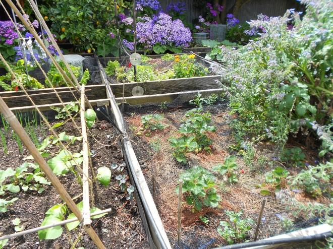 veggie garden2