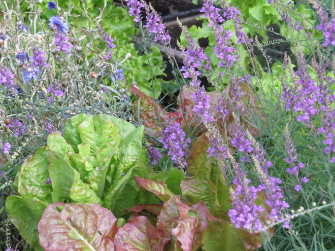 Lettuces with blue and purple flowers for the bees