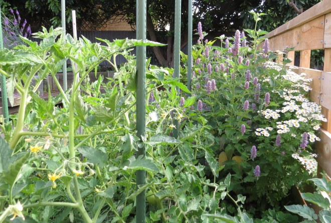 Tomatoes, Anise Hyssop and Feverfew